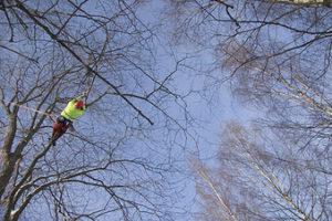 Kuvassa on Nokian kaupungin puistoyöntekijä hoitamassa puiden latvustoa. Hänellä on tyrvaköydet ympärillään.